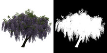 Front View Of Wisteria Floribunda Tree. PNG With Alpha Channel To Cutout. Made From 3D Model For Compositing.