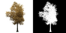 Left View Of Silver Birch Tree. PNG With Alpha Channel To Cutout. Made From 3D Model For Compositing.