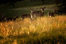 White-tailed Deer (Odocoileus Virginianus) On Hillside