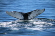 canvas print picture - Whale Tail