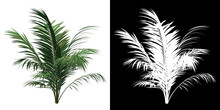 Front View Of Golden Cane Palm Tree. PNG With Alpha Channel To Cutout. Made From 3D Model For Compositing.
