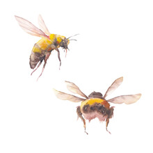 Watercolor Bee Illustration. Set Of Two Isolated Insects On White Background.