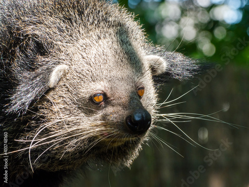 Fotografie, Obraz Portrait of an Asian binturong or bearcat