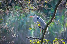 Grey Heron Standing On A Branch