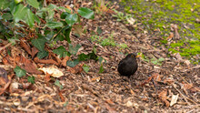 Blackbird, Black Bird With Yellow Beak, On Ground In Nature