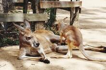 Kangaroo And Joey Resting On Land