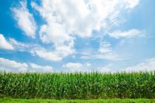 Corn Grows In The Field