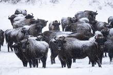A Herd Of Wild European Bison. Bieszczady, Carpathian Mountains. Poland.