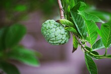 Close-up Of Sugar Apple Growing On Tree