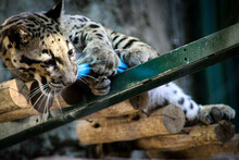 Clouded Leopard In The Zoo