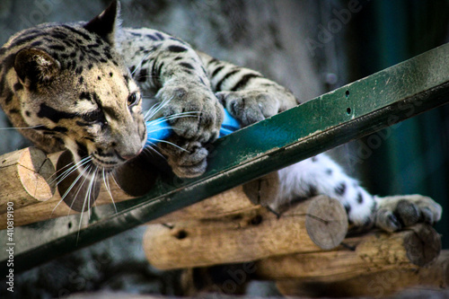 Obraz na plátně clouded leopard in the zoo