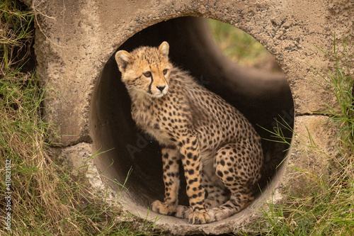 Obraz na plátně View Of Cheetah Cub In Pipe
