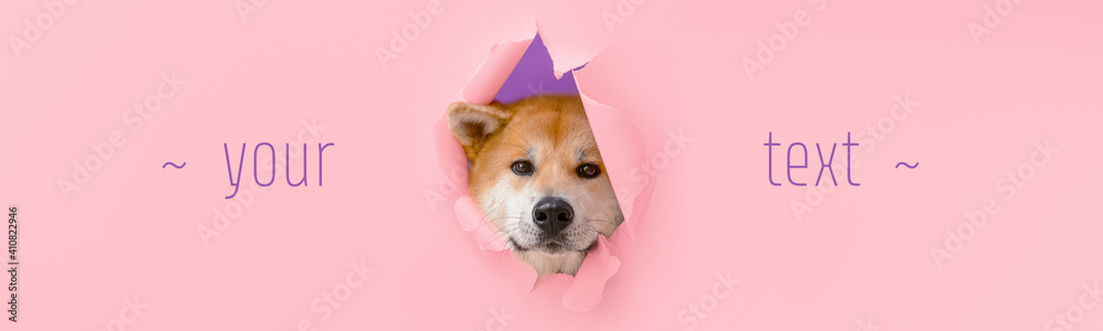 Fototapeta Cute Akita Inu dog visible through hole on color background with space for text