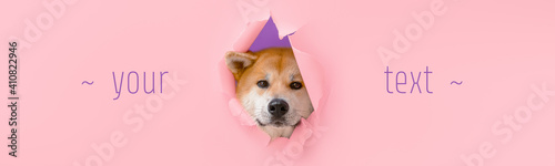 Obraz Cute Akita Inu dog visible through hole on color background with space for text - fototapety do salonu