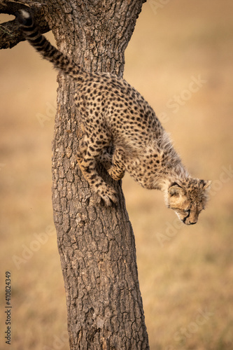Canvas Print Close-up Of Cheetah On Tree Trunk