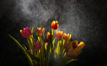 A Bouquet Of Red Yellow And Rose Tulips With A Lot Of Water Drops Sprayed On Top Of Them With A Smoke Effect
