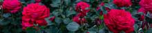 Rose Flower Bed In The Garden.