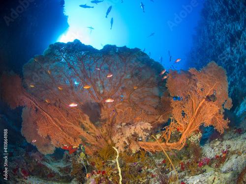 Fotografie, Obraz Huge Gorgonian seafans in an underwater canyon (Ras Mohammed, Sharm El Sheikh, R