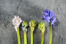 Four Geocynth Flowers On Gray Concrete Background Horizontally