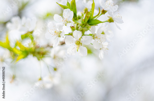 Fotografie, Obraz Close-up Of White Cherry Blossoms
