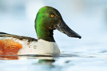 Northern Shoveler (Spatula Clypeata), With The Beautiful Blue Coloured Water Surface. Beautiful Duck With Green Feathers From The River In The Morning Mist. Wildlife Scene From Nature, Czech Republic