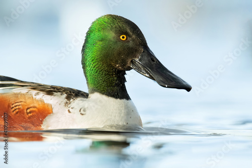 Northern shoveler (Spatula clypeata), with the beautiful blue coloured water surface Fototapeta