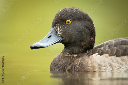 Fotografia Tufted duck (Aythya fuligula), with the beautiful blue coloured water surface