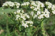 Beautiful White Yarrow Flowers In The Meadow