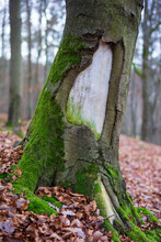 Tree Trunk With Old Wound