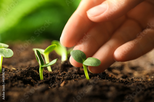 Obraz Woman examine young green seedling in soil outdoors, closeup - fototapety do salonu