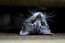 Closeup Portrait Of A Playful Domestic Cat Lying Upside Down Under A Couch