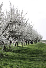 Blossom Plum Trees In Spring