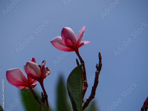 Fototapety, obrazy: Close-up Of Pink Flowering Plant Against Clear Sky