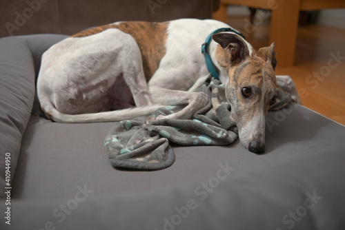 Brindle and white pet greyhound curls up with copy space beneath Fototapet
