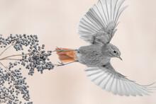 Black Redstart In Flight From Privet Plant (Phoenicurus Ochruros)
