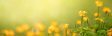 Closeup Of Yellow Flower On Blurred Green Background Under Sunlight With Copy Space Using As Background Natural Flora Landscape, Ecology Cover Page Concept.