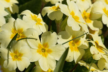Sunlit Yellow Primrose Flowers, Primula Vulgaris, Blooming In Springtime, Close-up View