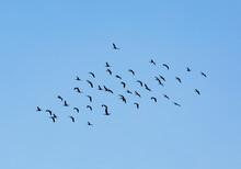 Curlews Flock