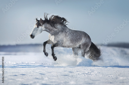 Fototapeta Gray andalusian  horse free run in snow winter landscape on sunny day obraz