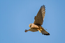 Male Kestrel Bird Of Prey, Falco Tinnunculus, Hovering Hunting For Prey