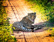 canvas print picture - Cheetah On Road