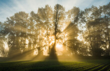 Crepuscular Rays At Sunrise Created By Mature Trees