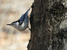 White Breasted Nuthatch On Tree