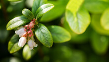 Flowering Vaccinium Vitis-idaea Macro View. The Process Of Growth And Ripening Of Organic Lingonberry Berries. Shallow Depth Of Field. Selective Focus.