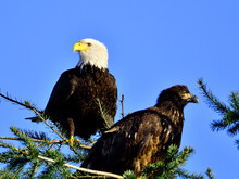 Adult And Young Bald Eagle