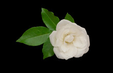 White Rose Flower Isolated On Black Background