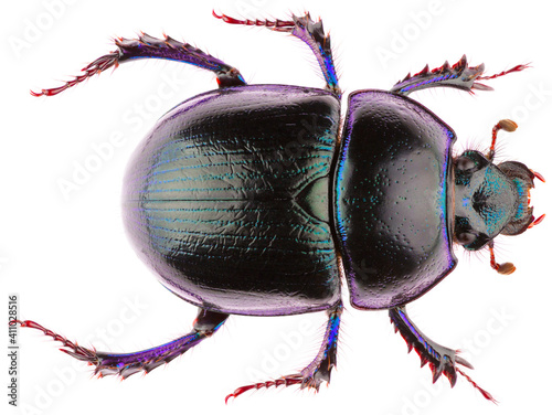 Anoplotrupes stercorosus dor beetle, is a species of earth-boring dung beetle from the family Geotrupidae Fototapet