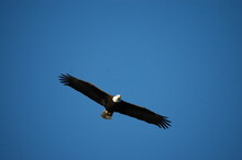 Low Angle View Of Bald Eagle Flying Against Clear Blue Sky