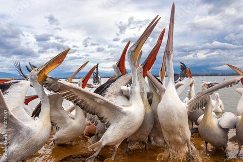 Obraz na płótnie Dalmatian pelican in Kerkini Lake in northern Greece