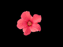 Beautiful Red Hibiscus Flower Isolated On Black Background Close-up. The Photo Can Be Used As A Banner For Advertising. There Is Room For Text.